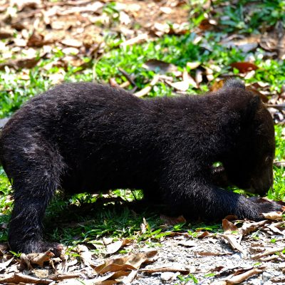 Asian Black Bear (cub)
