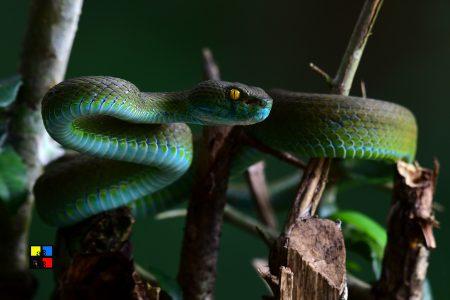 Macrops Pit Viper