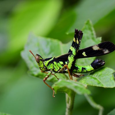 Spot Monkey Grasshopper