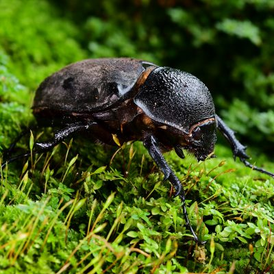 Brown Rhinoceros Beetle (female)