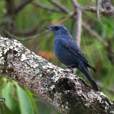 Blue Rock Thrush (male)