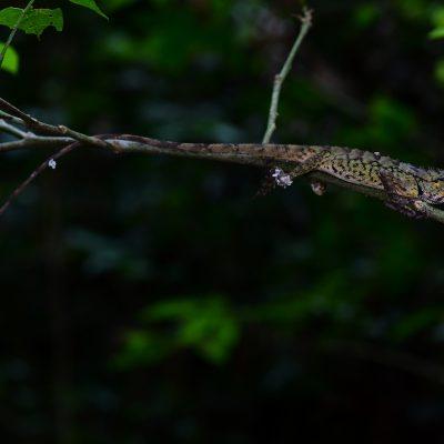 Emma Gray's Forest Lizard