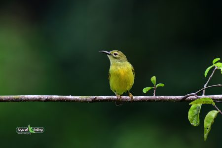 Brown-throated Sunbird (female)