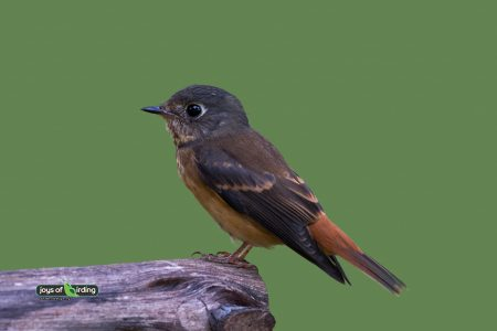 Ferruginous Flycatcher