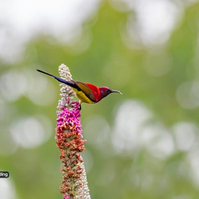 Mrs Gould's Sunbird (male)