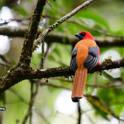 Whitehead's Trogon (male)