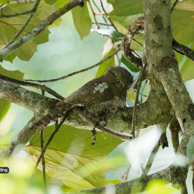 Javan Frogmouth