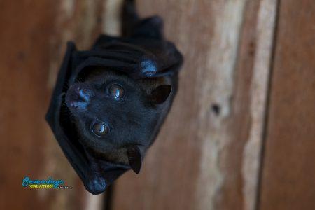 Lesser Musky Fruit Bat