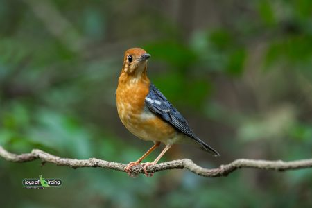 Orange-headed Thrush (female)