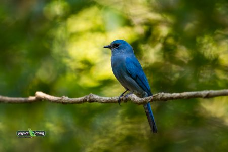 Verditer Flycatcher (female)