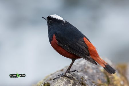 White-capped Redstart (male)