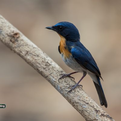 Indochinese Blue-flycatcher
