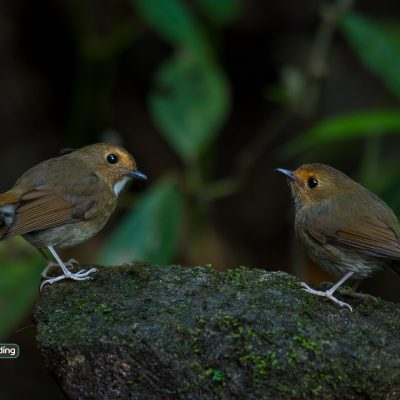 Rufous-browed Flycatchers