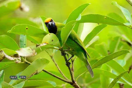 Golden-fronted Leafbird (male)