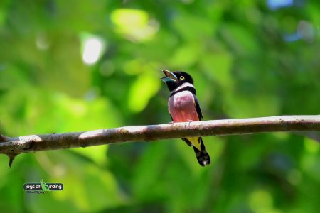 Black & Yellow Broadbill