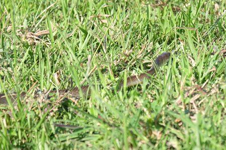Rat Snake-Step Not