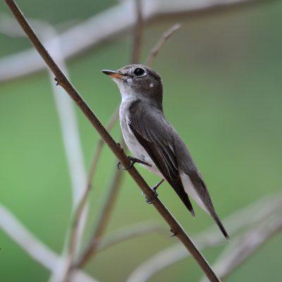 Asian Brown-Flycatcher