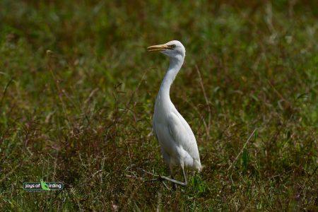 Eastern Cattle Egret