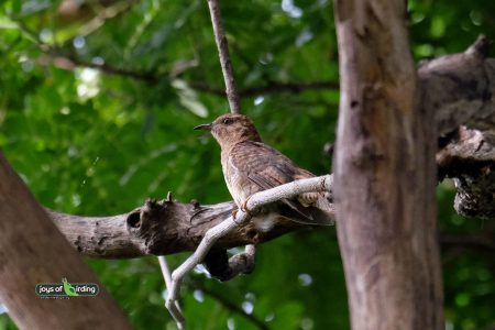 Plaintive Cuckoo (female)