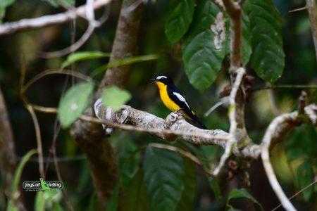 Yellow-Rumped Flycatcher