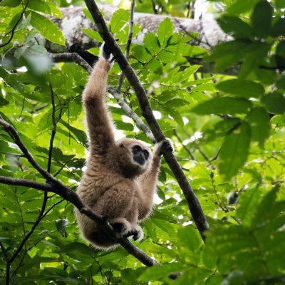 White-handed Gibbon