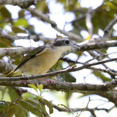 White-browed Shrike-babbler (female)