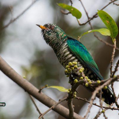 Asian Emerald Cuckoo
