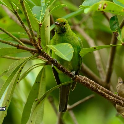 Golden-fronted Leafbird (female)
