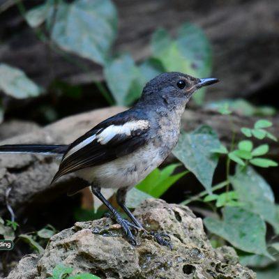 Oriental Magpie-robin juvenile