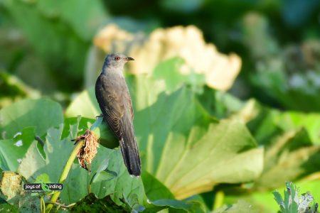 Plaintive Cuckoo (male)