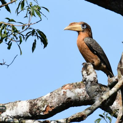 Tickell's Brown Hornbill