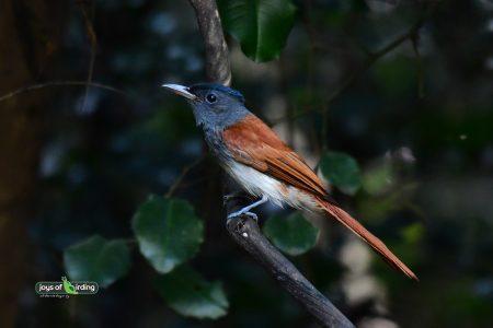 Asian Paradise Flycatcher (female)