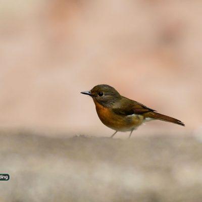 Hill-Blue Flycatcher Female