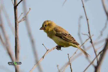 Plain-backed Sparrow (female)