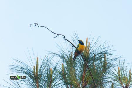 Orange-bellied Leafbird