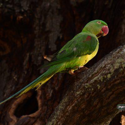 Alexandrine Parakeet (female)