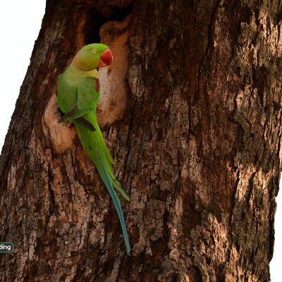 Alexandrine Parakeet (male)
