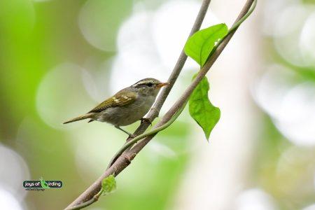 Claudia's Leaf Warbler