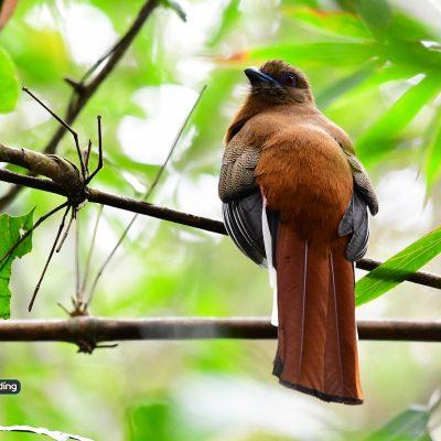 Red-Headed Trogon (female)