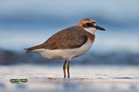 Greater Sand Plover (male)