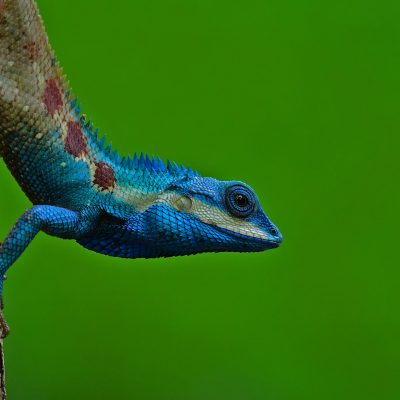 Blue-crested Lizard (male)