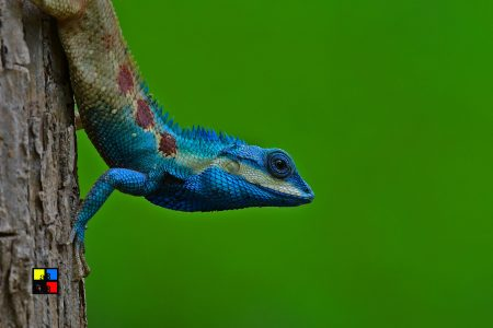 Blue-crested Lizard (male)