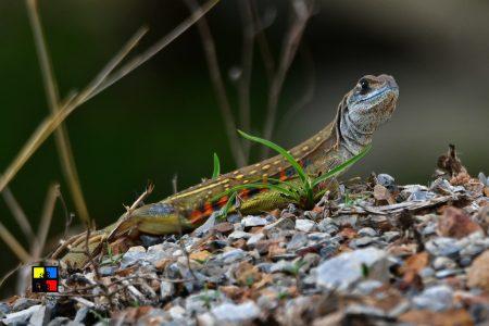 Common Butterfly Lizard