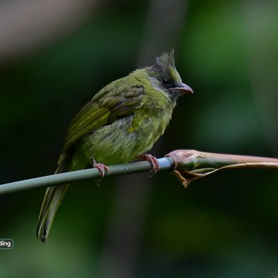 Crested Finchbill (female)