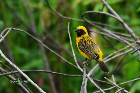 Asian Golden Weaver (male)