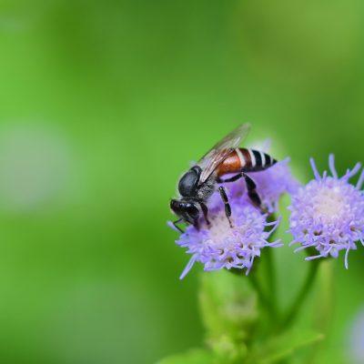 Dwarf Honey Bee