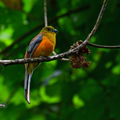 Orange-breasted Trogon (male)