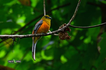 Orange-breasted Trogon (male)