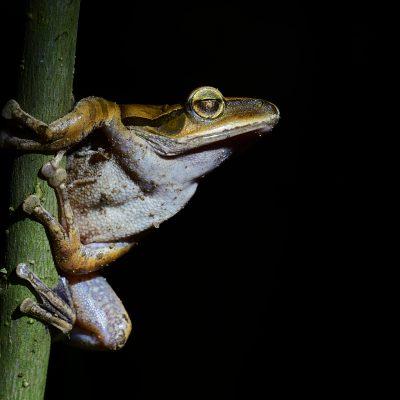 Kokarit Frog (brown)