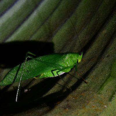 Leaf Mimic